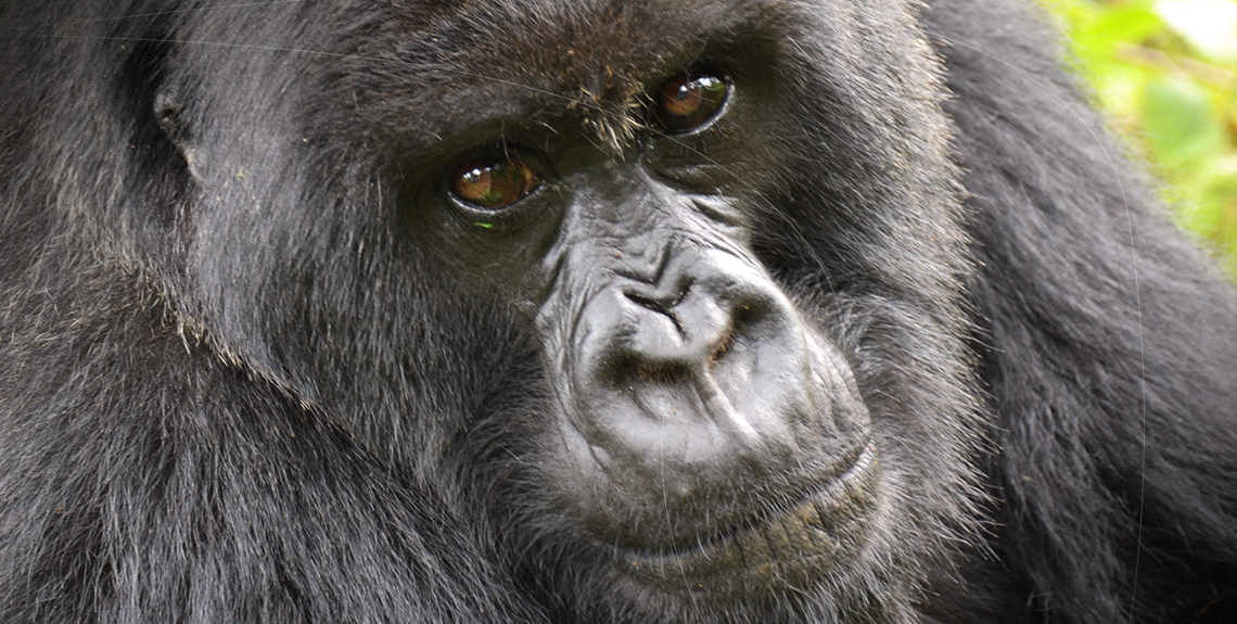 World of Pinlock - Gorillas of Uganda